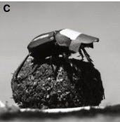 dung-beetle-ball.jpg
