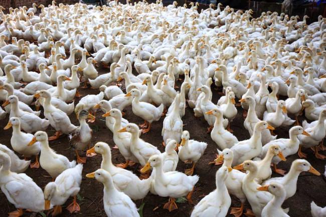 DuckFarmFlu.jpg