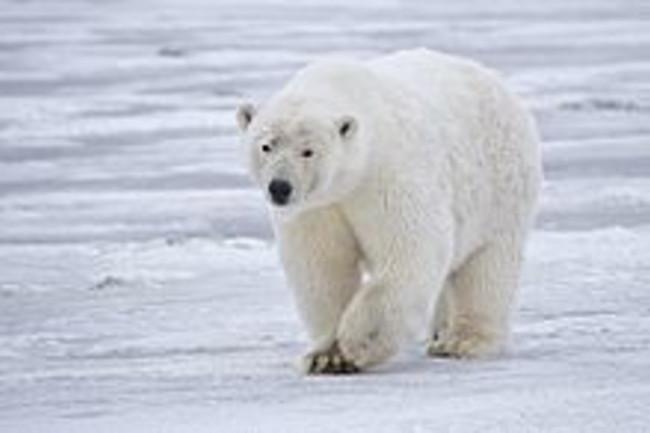 220px-Polar_Bear_-_Alaska.jpg