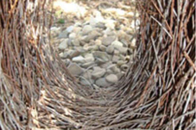 bowerbird-bower.jpg