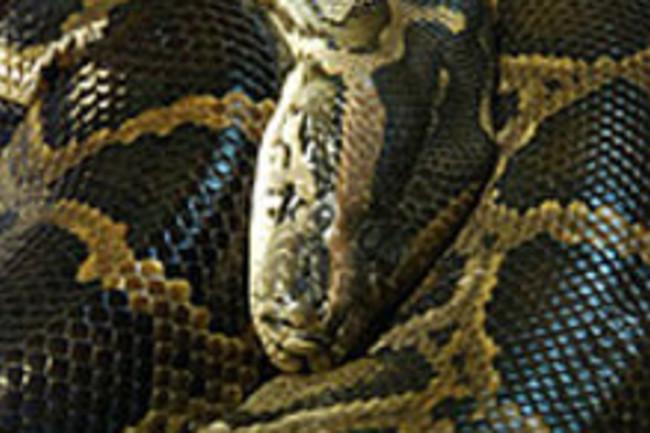 burmese-pythonweb.jpg