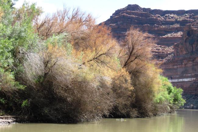 Tamarisk Along Colorado River - Tamarisk Coalition