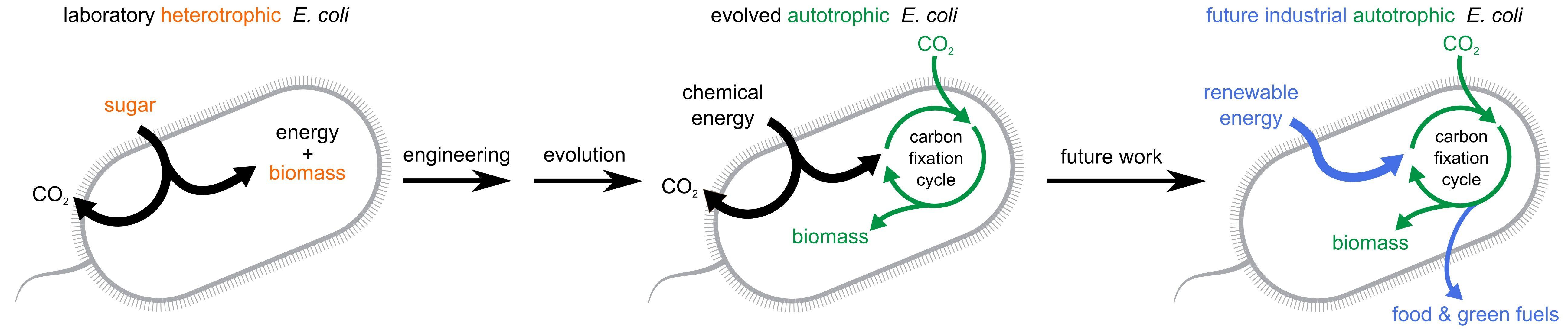 E coli Bacteria eats CO2