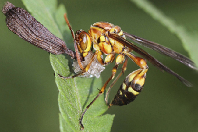 wasp-with-seed.jpg