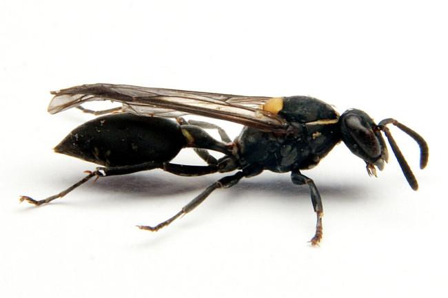 The Brazilian wasp Polybia paulista. (Credit: Prof. Mario Palma/Sao Paulo State University)