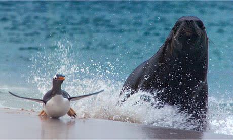 Frozen-Planet-penguin-sea-007.jpg