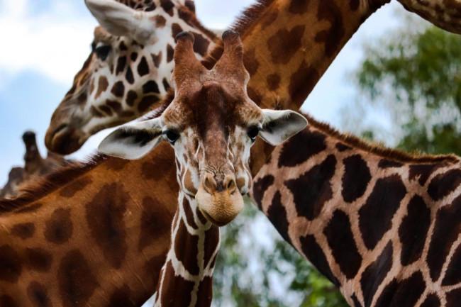 GiraffeSpots.jpg