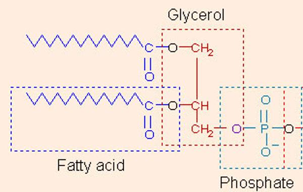 phospholipid1.png