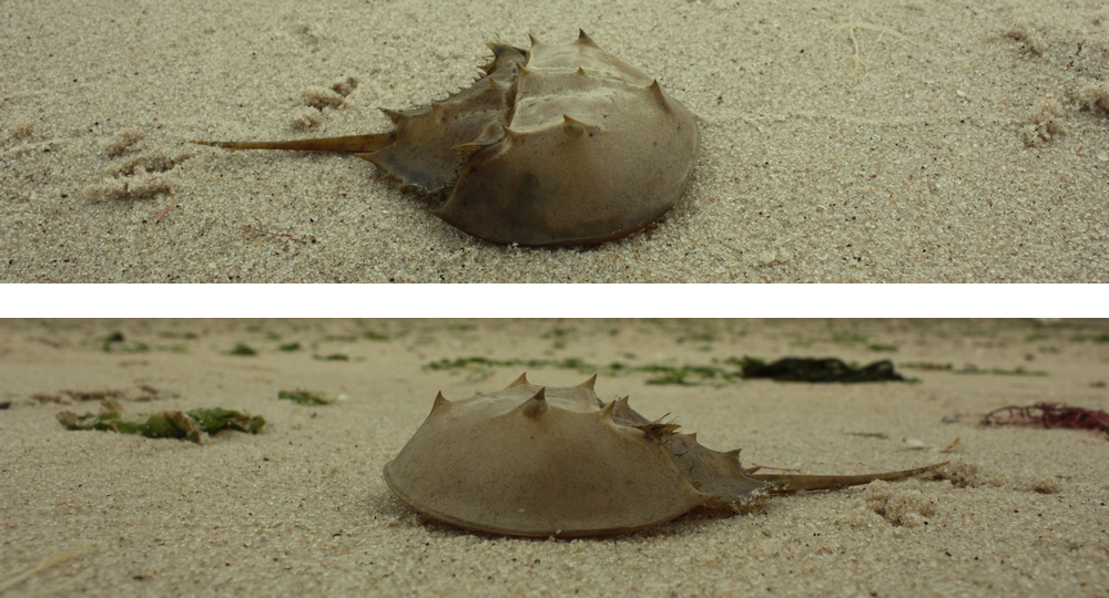 Two shoots of horseshoe crab