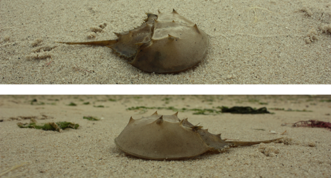 Horseshoe Crabs - Wikimedia Commons