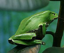 220px-Giant_Waxy_Monkey_Frog.jpg