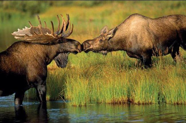 kissingmoose.jpg