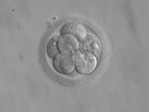 Embryo_8_cells-e1303317615733.jpg