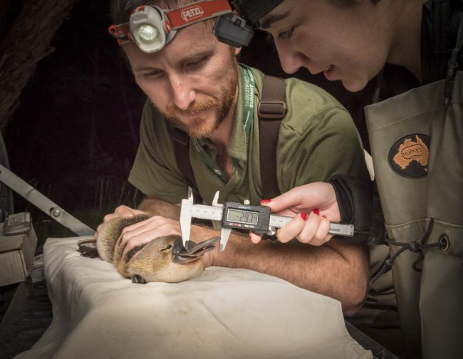 Ecologists Measure Platypus - Douglas Gimesy