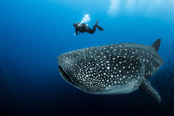 Whale Sharks, Earth's Largest Fish, Also Commonly Eat Plants