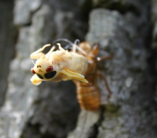 Cicada_emerging-1024x900.jpg