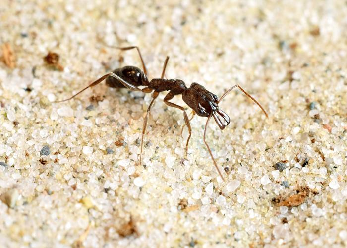 CAPTION The trap-jaw ant species Odontomachus brunneus is the champion boxer, striking its opponents more than 41 times per second. CREDIT Adrian Smith