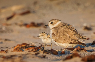 Western-Snowy-Plover-Male-chick_Coal-Oil-Point-CA.jpg