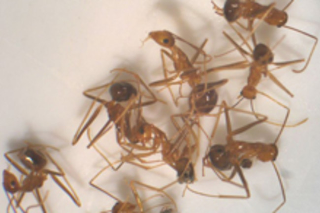 yellow-crazy-ants.jpg