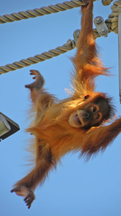 Orangutan_baby_reaching.jpg