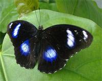 Bluemoonbutterfly.jpg