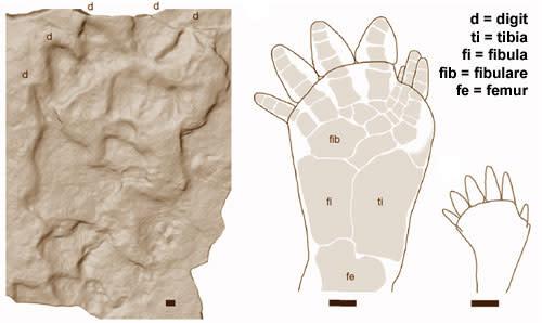 Tetrapod-foot.jpg