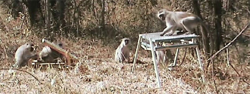 Vervet-monkey-markets.jpg