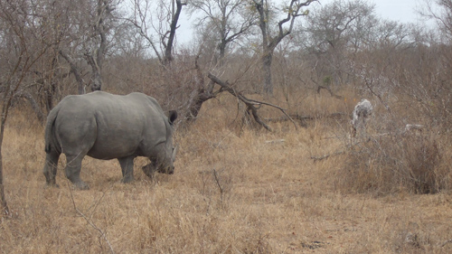 Rhinowalking.jpg
