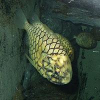 Pineconefish.jpg
