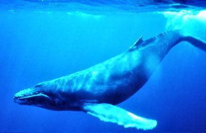Humpback_Whale_underwater_shot.jpg