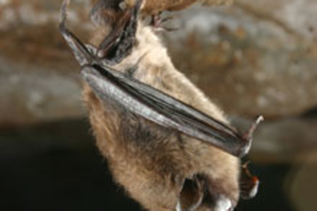 bat-white-fungus.jpg