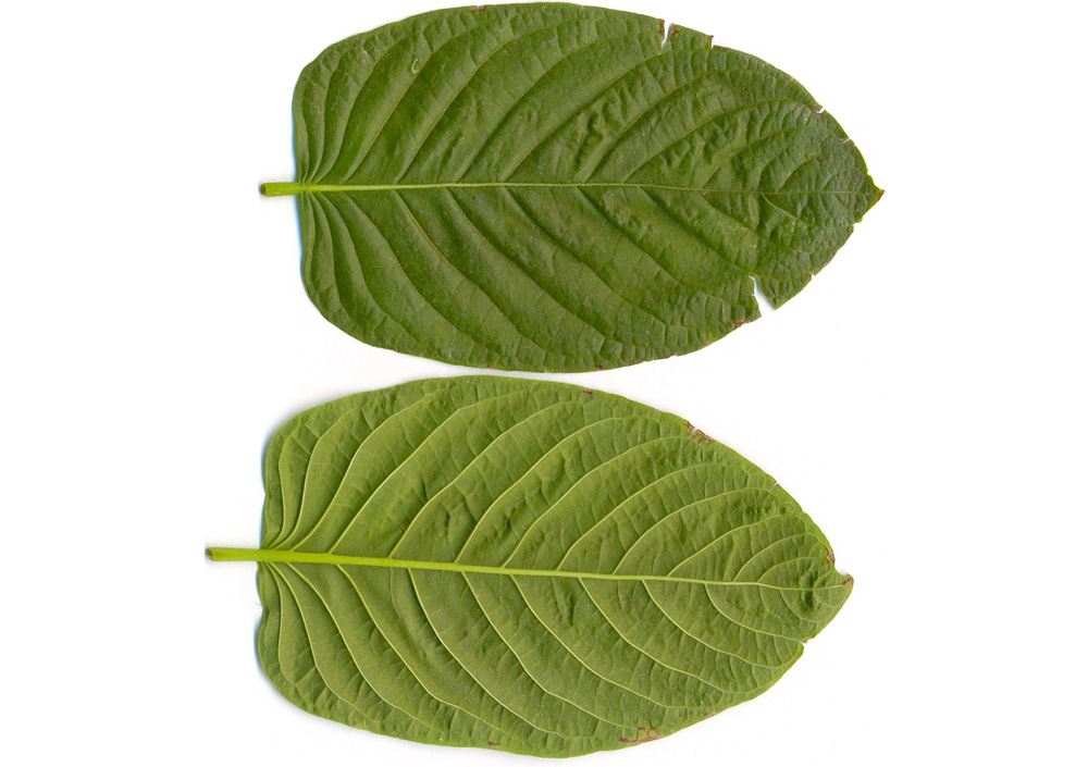 The U S  May Ban Kratom  But Are its Effects Deadly or