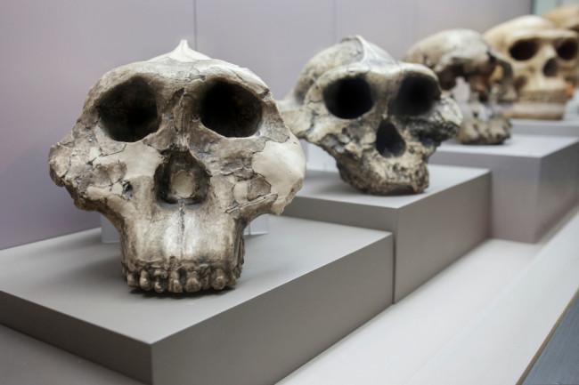 skulls human evolution - shutterstock
