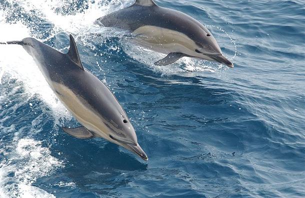 Common_dolphins.jpg