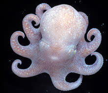 octopus-deep-sea.jpg