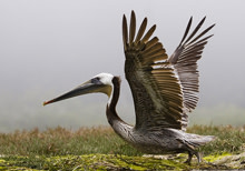 brown-pelican.jpg