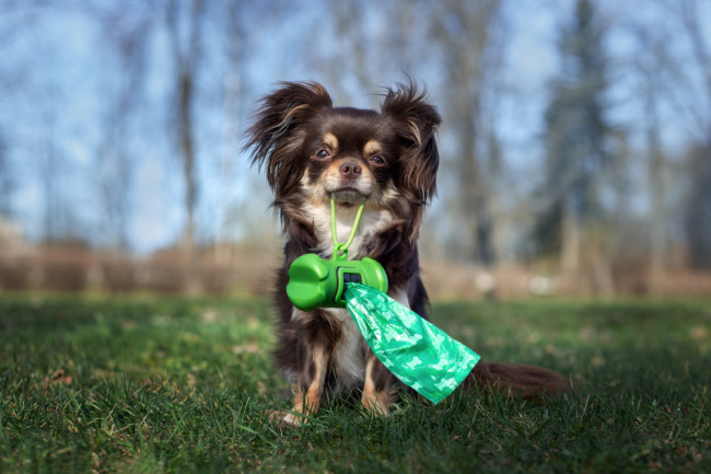 chihuahua dog walk dog poop bags compostable ecofriendly - shutterstock