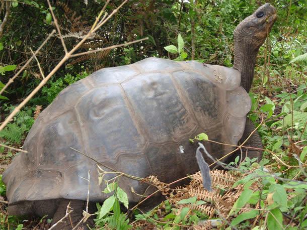 Giant_tortoise1.jpg