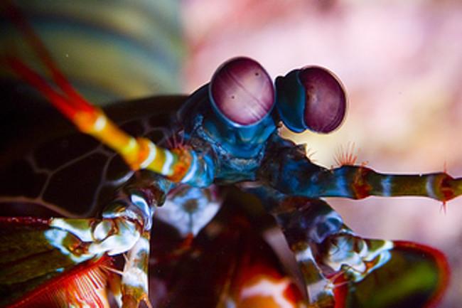 mantisshrimp2.jpg
