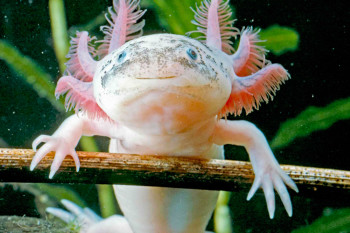 What the Axolotl's Limb-Regenerating Capabilities Have to Teach Us