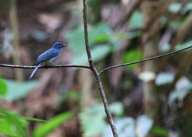 Cerulean paradise flycatcher - Shutterstock
