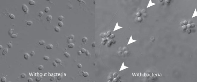 Choanoflagellate-rosettes.jpg