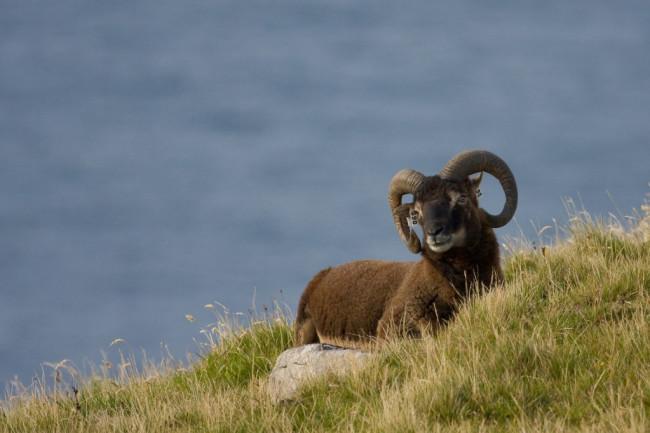 Soay-Sheep-1024x682.jpg