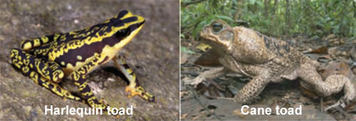 Harlequin_cane_toad.jpg