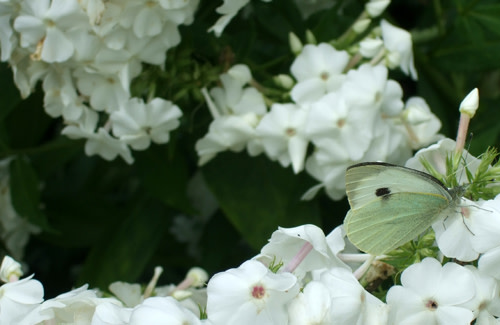 Small_white_butterfly.jpg