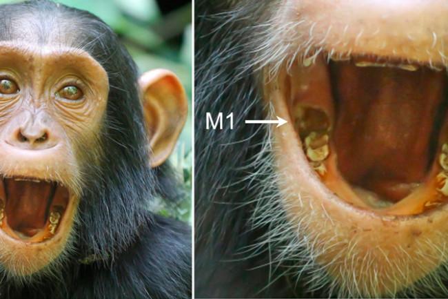 chimp-molars.jpg