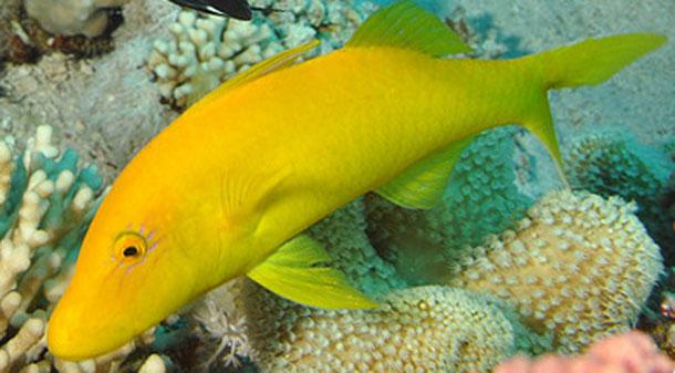 Yellow_saddle_goatfish.jpg