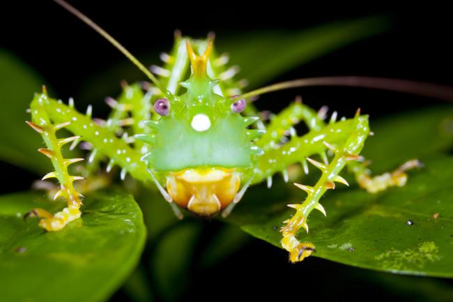 thorny katydid