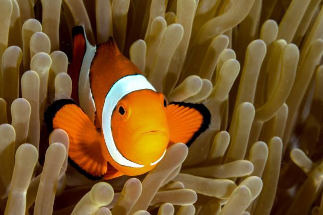 Clownfish - Shutterstock