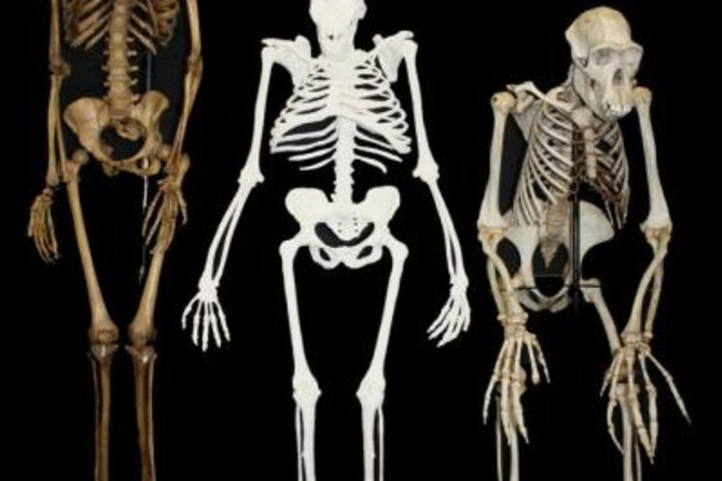 Human, Australopithecus sediba, Chip - University of the Witwatersrand